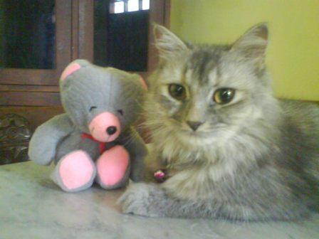 Kucing Persia Dan Turunannya Noorx