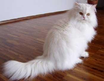 Download 92+  Gambar Kucing Persia Hasil Perkawinan Dengan Anggora Terbaik Gratis